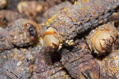 Getrocknete Mopane Endlosschrauben, Gonimbrasia belina Lizenzfreie Stockfotografie