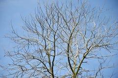 Getrocknete Niederlassungen auf einem großen Baum Stockfotos