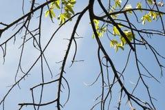 Getrocknete Niederlassungen Guyabano Baum unter der Sonne stockbilder