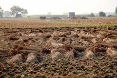Getrocknete Paddyernte, die auf dem landwirtschaftlichen Gebiet legt lizenzfreies stockfoto