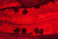 Getrocknete Paprikas Stockbilder