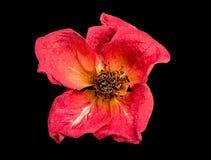 Getrocknete Rotrose auf einem schwarzen Hintergrund Lizenzfreie Stockfotografie