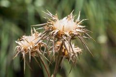 Getrocknete Silybum Marianum-Blumen, unscharfer Hintergrund Stockfotos