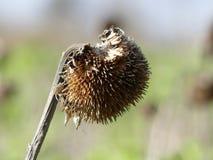 Getrocknete Sonnenblume auf einem unscharfen Hintergrund im Vorfrühling lizenzfreie stockfotografie