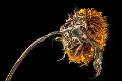 Getrocknete Sonnenblume belichtet durch starkes Standlicht Lizenzfreie Stockfotos