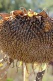 Getrocknete Sonnenblumenblüte Lizenzfreies Stockfoto