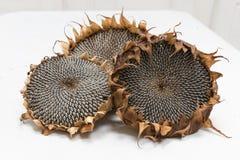 Getrocknete Sonnenblumenköpfe Stockfoto