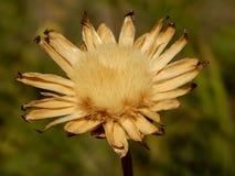 Getrocknete sterbende Blume lizenzfreies stockfoto