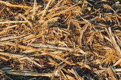 Getrocknete trockene Maisstiele liegen auf dem Boden Lebensmittel für Kaninchen, Hintergrund für Design stockfotos