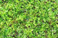 Getrocknete und frische Meerespflanze für Gebrauch als Hintergrund stockbild