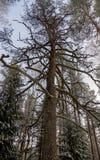 Getrockneter Baum in einem Winterwald in einer bitteren Kälte lizenzfreie stockfotografie