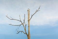 Getrockneter Baum im weichen Tonhimmel Stockfotos