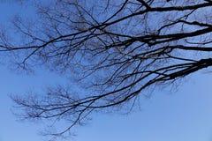 Getrockneter Baum unter dem blauen Himmel am Winterwald Lizenzfreie Stockbilder