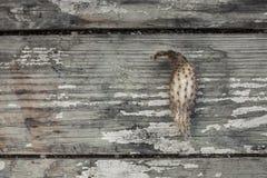 Getrockneter Kaktus auf den alten Planken Stockbild