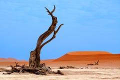 Getrockneter Kamelakazienbaum auf orange Sanddünen und hellem Hintergrund des blauen Himmels, Namibia, südlicher Afrika lizenzfreies stockfoto