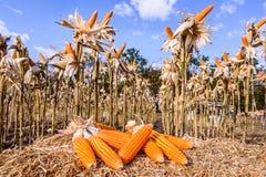 Getrockneter Mais auf einem Maisgebiet Lizenzfreie Stockfotografie
