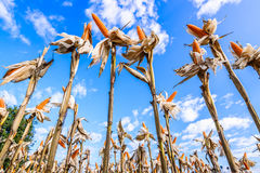 Getrockneter Mais auf einem Maisgebiet Lizenzfreies Stockfoto