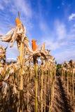 Getrockneter Mais auf einem Maisgebiet Lizenzfreie Stockfotos