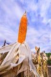 Getrockneter Mais auf einem Maisgebiet Stockbilder