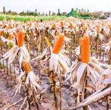 Getrockneter Mais auf einem Maisgebiet Stockbild