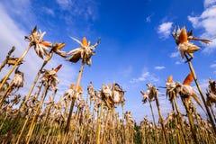 Getrockneter Mais auf einem Maisgebiet Stockfotografie