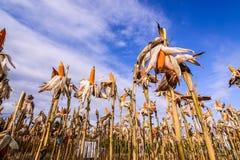Getrockneter Mais auf einem Maisgebiet Stockfotos