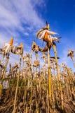 Getrockneter Mais auf einem Maisgebiet Lizenzfreie Stockbilder