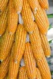 Getrockneter Mais in der Erntezeit lizenzfreie stockbilder