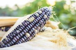 Getrockneter Mais für das Züchten, thailändischer Mais Stockfotografie