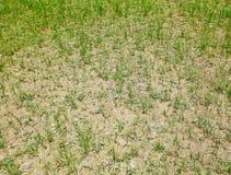 Getrockneter Rasen Stockfoto