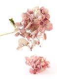 Getrockneter rosafarbener Hortensia Stockbild