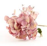 Getrockneter rosafarbener Hortensia Lizenzfreie Stockfotos