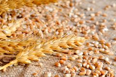 Getrockneter Weizen Stockfoto