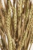 Getrockneter Weizen Lizenzfreies Stockbild