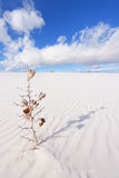 Getrockneter Yucca am Weiß versandet nationales Denkmal Stockbild