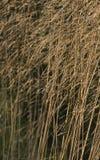 Getrocknetes Gras mit begrenztem Fokus Lizenzfreies Stockbild