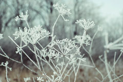 Getrocknetes Gras mit Frost Lizenzfreies Stockfoto