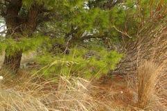 Getrocknetes Gras und reiche grüne Nadeln der Kiefer Stockbilder