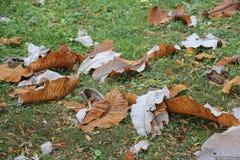 Getrocknetes Herbstblatt der Magnolie Macrophylla im Herbst am botanischen Garten Lizenzfreie Stockfotografie