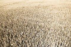 Getrocknetes Paddyfeld, Reis Stockfoto