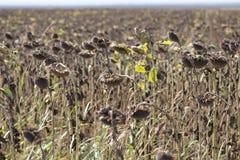 Getrocknetes Sonnenblumenfeld mit der Sonne im Hintergrund stockbilder