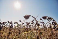 Getrocknetes Sonnenblumenfeld mit der Sonne im Hintergrund stockbild