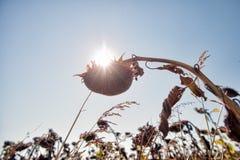 Getrocknetes Sonnenblumenfeld mit der Sonne im Hintergrund lizenzfreies stockfoto