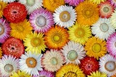 Getrocknetes Straw Flower Blooms - Nahaufnahme-Ansicht u. x28; Helichrysum bracteatum u. x29; stockfotos