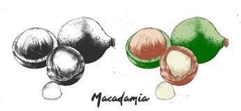 Getrokken hand het etsen van schets van macadamia noten in zwart-wit en kleurrijk Gedetailleerde vegetarische voedsel linocut tek vector illustratie