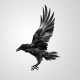 Getrokken realistische vliegende geïsoleerde kraai Stock Foto