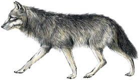 Getrokken wolf Stock Fotografie