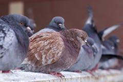 Getrumpfte Tauben im Winter auf der Straße, sitzen in einer Reihe Lizenzfreie Stockfotos