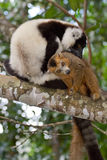 Getrumpfte und gekrönte Schwarzweiss-lemurs lizenzfreies stockfoto