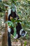 Getrumpfter Schwarzweiss-lemur stockfoto